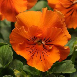 Frizzle Sizzle Orange Pansy