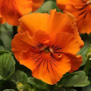 Frizzle Sizzle Orange Pansy