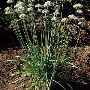 Organic Chives Garlic