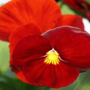 Delta™ Pure Red Pansy