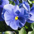 Delta™ Premium Pure Light Blue Pansy