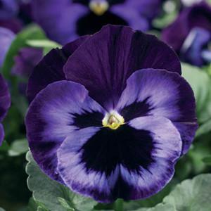 Delta™ Premium Neon Violet Pansy