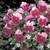 Nature Frosty Rose Pansy