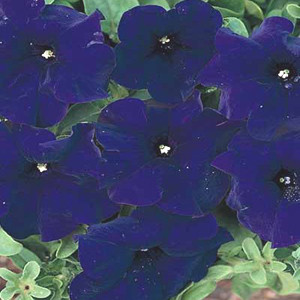 Aladdin Blue Petunia