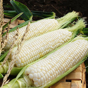 White Sugar Pearl F1 Corn