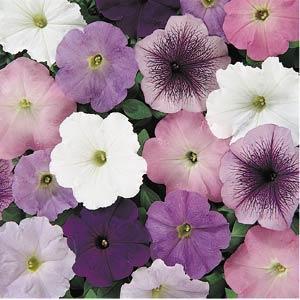 Carpet Neptune Mix Petunia