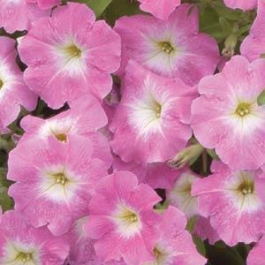 Carpet Pink Morn Petunia