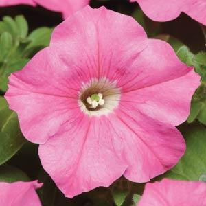 Carpet Pink Petunia