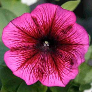 Carpet Plum Petunia