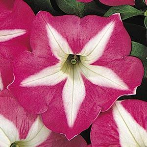 Carpet Rose Star Petunia