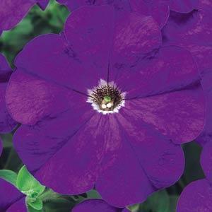 Carpet True Blue Petunia