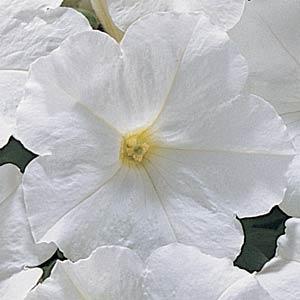 Carpet White Petunia