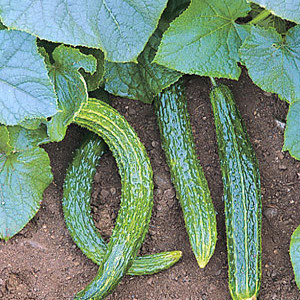 Organic Cucumber Seeds, Suyo Long