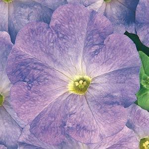 Carpet Sky Blue Petunia Seeds