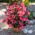 Big™ Rose With Bronze Leaf Fibrous Begonia Seeds