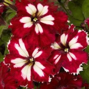 Can Can Harlequin Burgundy Petunia