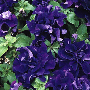 Double Cascade Blue Petunia