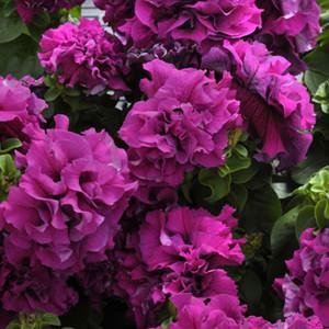 Double Cascade Burgundy Petunia