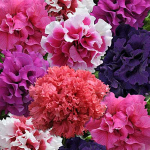 Double Cascade Glorious Mix Petunia