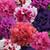 Double Cascade Glorious Mix Petunia