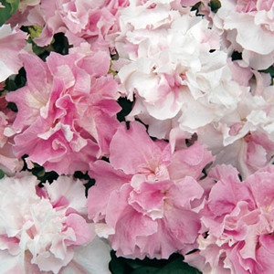 Double Cascade Pink Orchid Mist Petunia