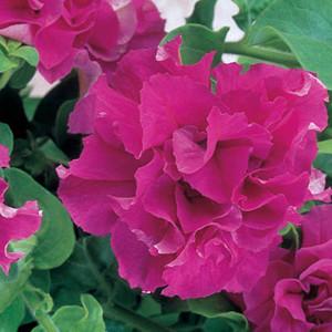 Double Cascade Pink Petunia