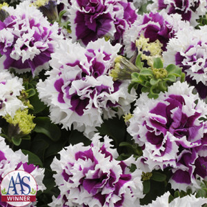 Pirouette Purple Double Petunia