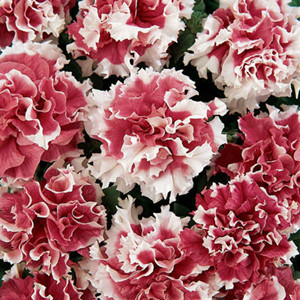 Pirouette Red Double Petunia