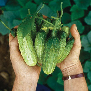 Organic Cucumber Seeds, Northern Pickling