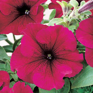 Dreams Burgundy Petunia