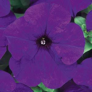 Dreams Midnight Petunia