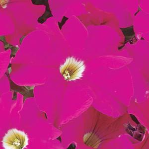 Dreams Neon Rose Petunia