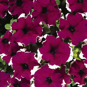 Dreams Picotee Burgundy Petunia