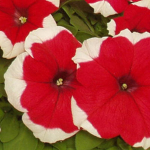 Dreams Picotee Red Petunia