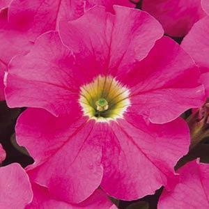 Dreams Pink Petunia