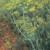 Organic Dill Seeds, Bouquet