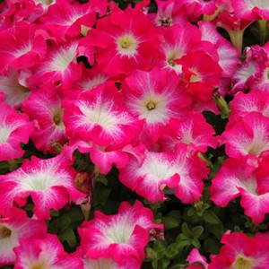 Dreams Rose Morn Petunia