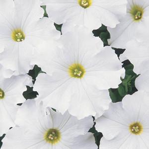 Dreams White Petunia