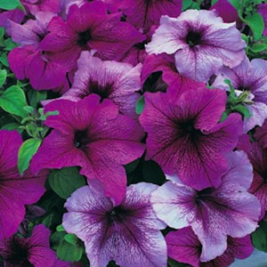 Prism Fruits of the Forest Mix Petunia