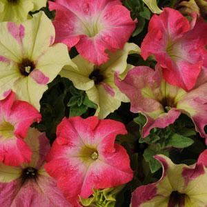 Fuseables® Lime Coral Petunia