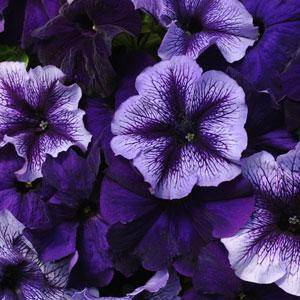 Fuseables® Pleasantly Blue Petunia