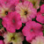 Fuseables® Pink Dream Petunia