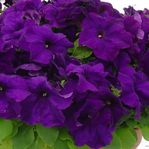 Mambo GP Blue Petunia