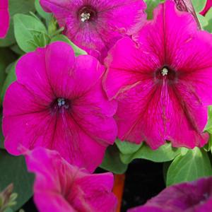Mambo GP Burgundy Petunia