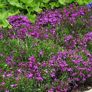 Fuseables® Bed of Roses Lobelia
