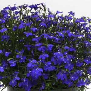 Fuseables® Blue Brothers Lobelia2
