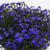 Fuseables® Blue Brothers Lobelia2