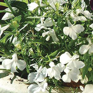 Fuseables® White Knights Lobelia