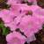 Mambo GP Sweet Pink Petunia