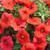 Mambo GP Red Petunia